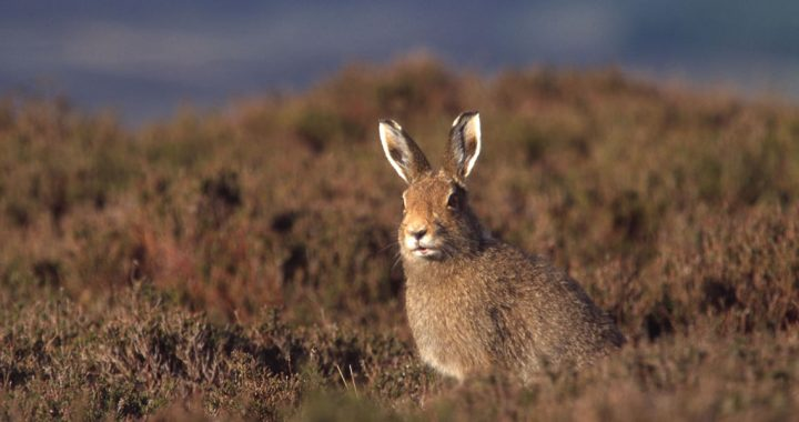 Mountain or Blue Hare